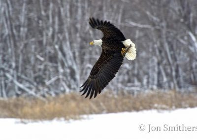 American Bald Eagle Fishing on the Mississippi River