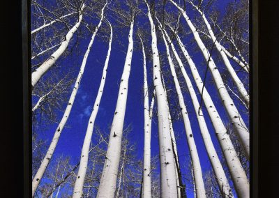 "Aspen Trees ""Looking Up"""