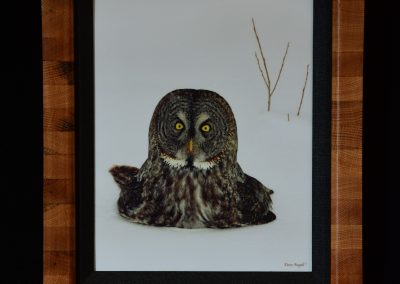 "Great Gray Owl ""Chillin'"""